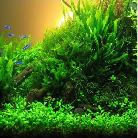 Glossostigma Elatinoides Aquarium Plant