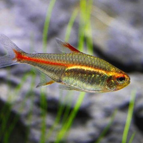 Glowlight Tropical Tetra