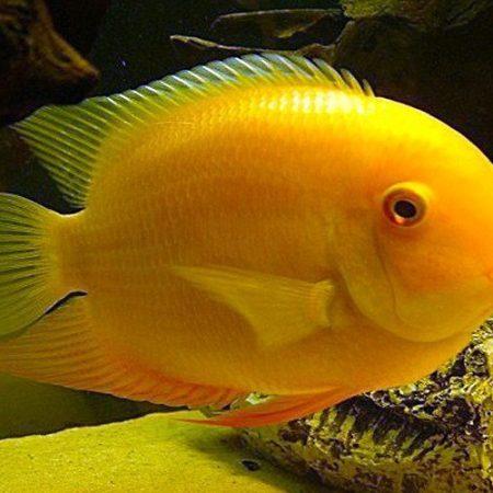 Gold Jumbo Severum Freshwater Fish
