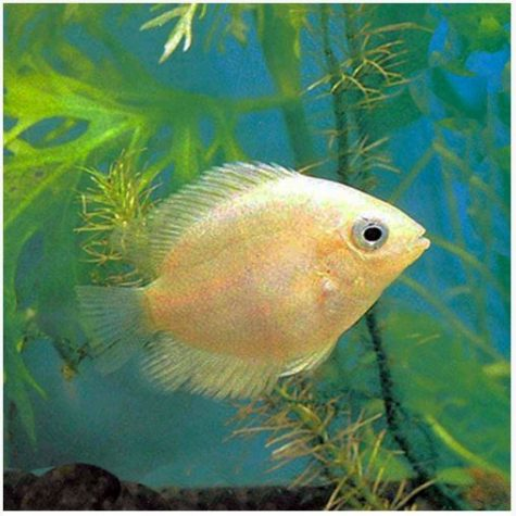 Gold Severum Freshwater Fish