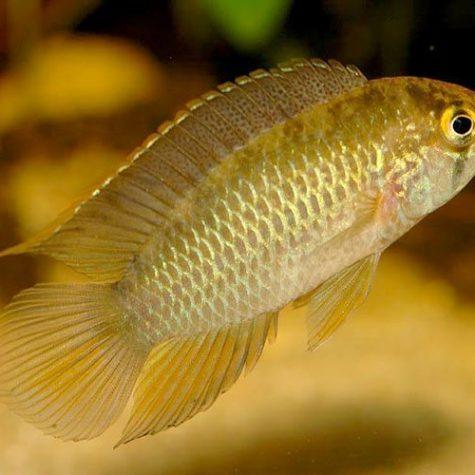 Golden Dwarf Acara Cichlid