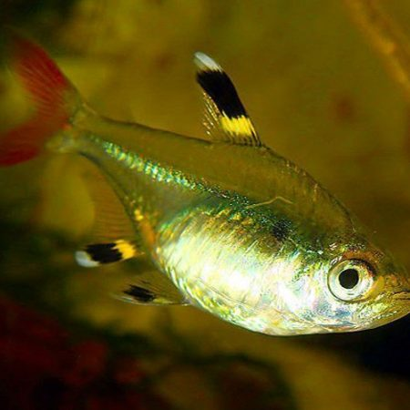 Golden Pristella Tropical Tetra