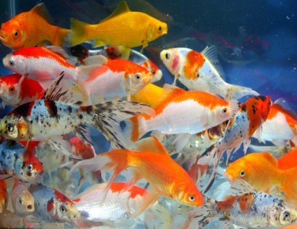 Goldfish - Comets Assorted