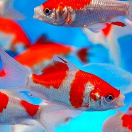 Red and White Comet Goldfish