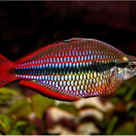 Goyder River Tropical Rainbowfish