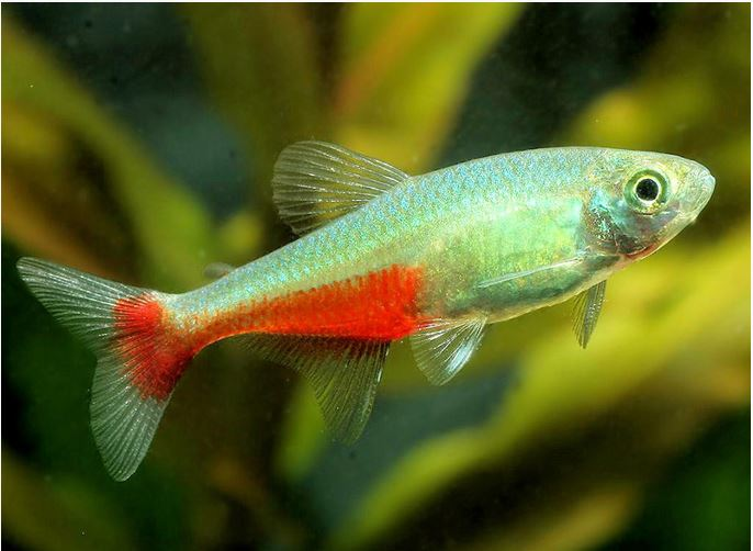 Green Fire Tropical Tetra