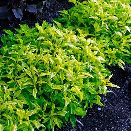 Green Hedge Alternanthera ficoidea Potted