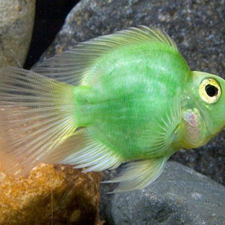 Green Jellybean Parrot Cichlid