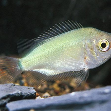 Green Kissing Gourami Fish