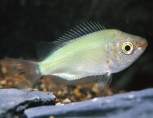 Green Kissing Gourami Fish