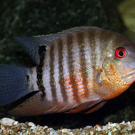 Green Severum Cichlid Freshwater Fish