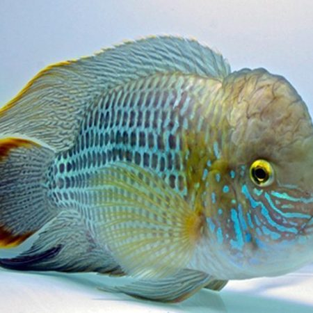 Green Texas Cichlid Show Quality