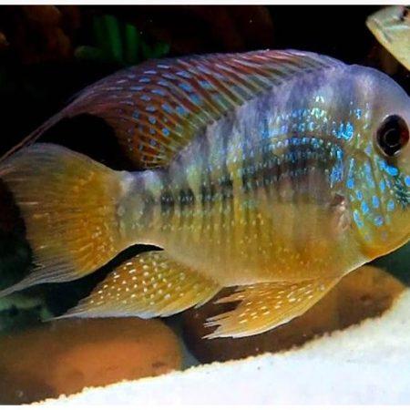 Gymnogeophagus Balzanii Cichlid Pond Fish