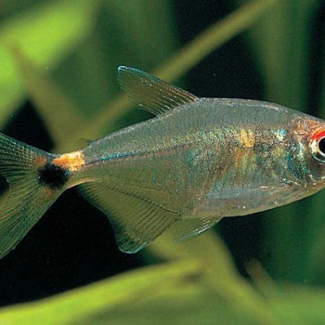 Head & Tail Light Tropical Tetra