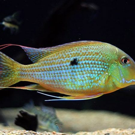 Heckel's Thread-Finned Acara Fish