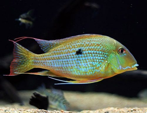 Heckel's Thread-Finned Acara Fish