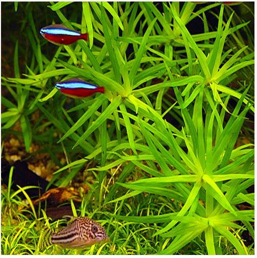 Heteranthera Zosterfolia Bunched Aquarium Plant