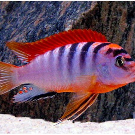 Hongi Super Red Top Cichlid