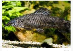 Hoplo Armored Catfish