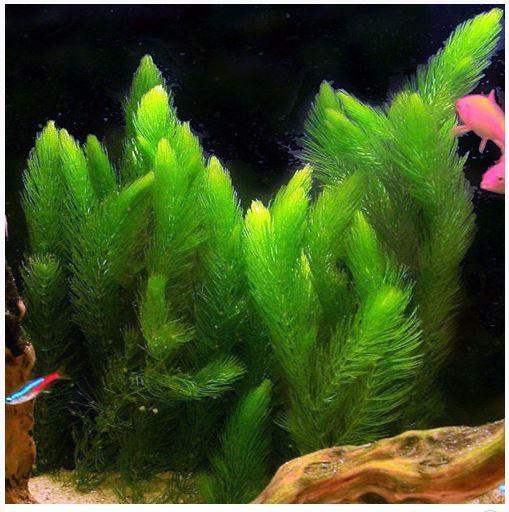 Hornwort Bunched Aquatic Plant 2