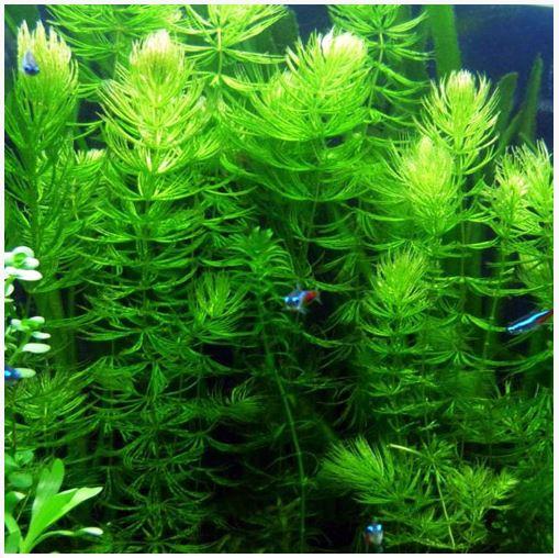 Hornwort Bunched Aquatic Plant