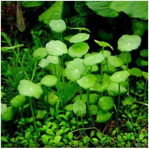Hydrocotyle verticillata Bunched Aquatic Plant