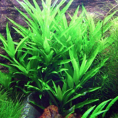 Hygrophila Corymbosa Stricta Plant