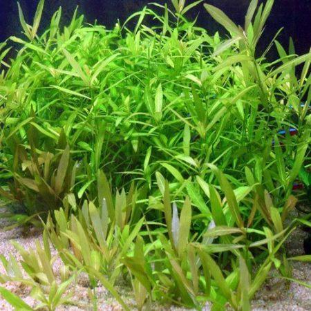 Hygrophila Green Hygrophila Polysperma Aquarium Plant