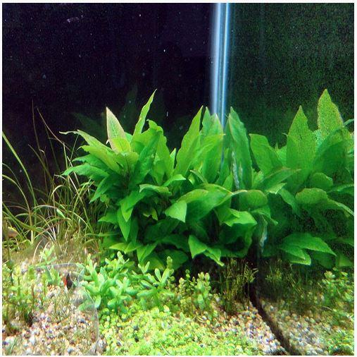 Hygrophila corymbosa Kompakt Bunched Aquarium Plant