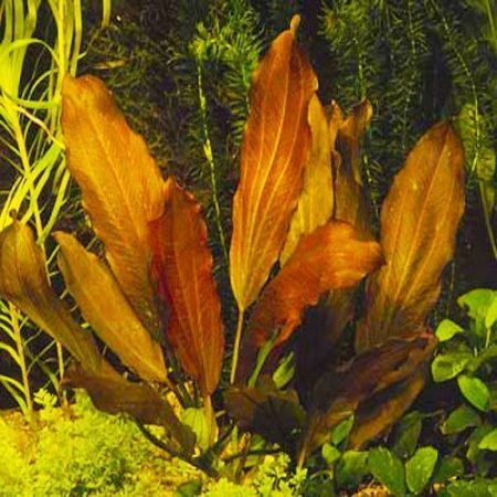 Indian Red Sword Echinodorus Potted Aquarium Plant