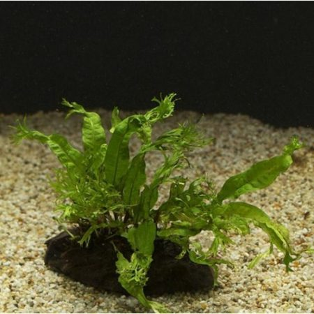 Java Fern Lace Grown on Driftwood