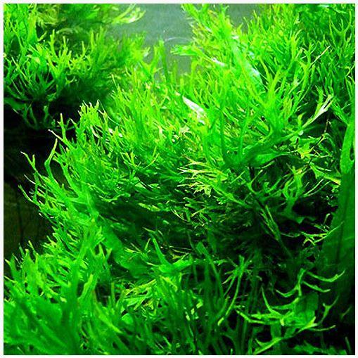 Java Fern Lace Tropica Aquarium Plant
