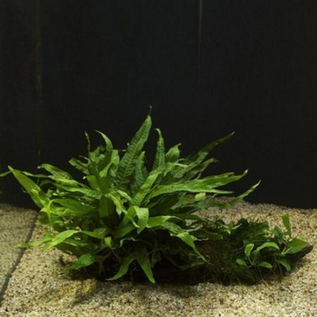 Java Fern Regular Mounted on Driftwood