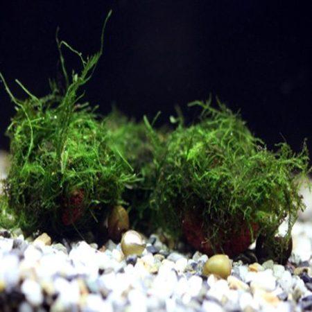 Java Moss Aquarium Plant