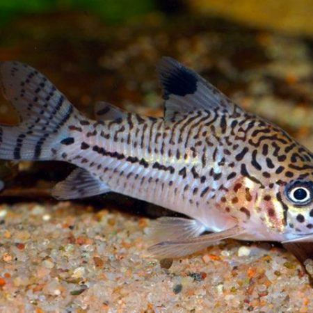 Julii Cory Catfish