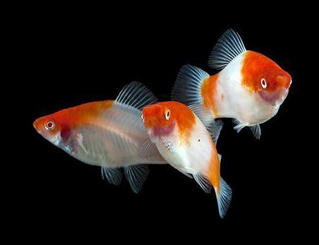 Koi Kohaku Swordtail Aquarium Fish