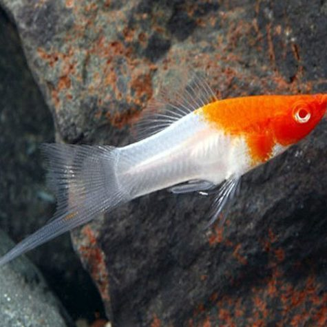 Koi Santa Claus Swordtail Aquarium Fish