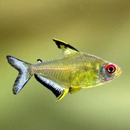 Lemon Tetra Fish
