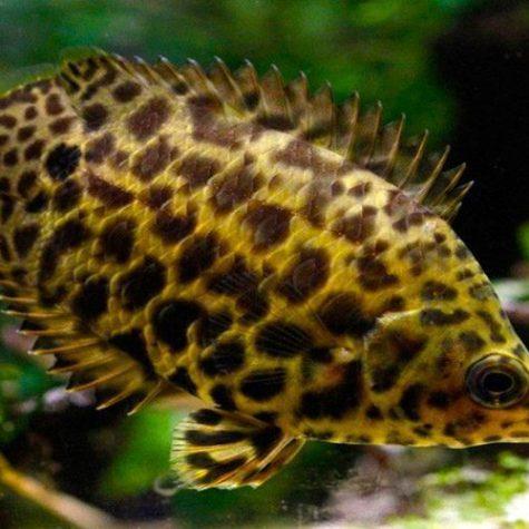 Leopard Gourami Fish