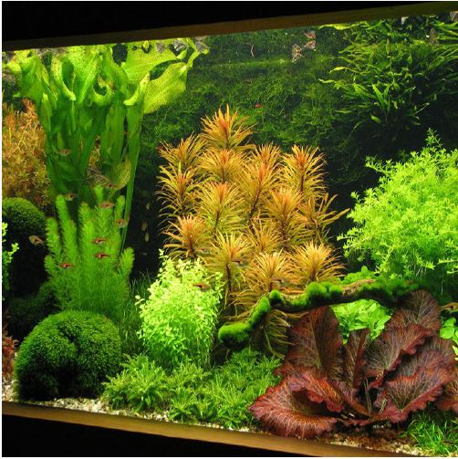 Ludwigia Inclinata Bunched Cuban Aquarium Plant