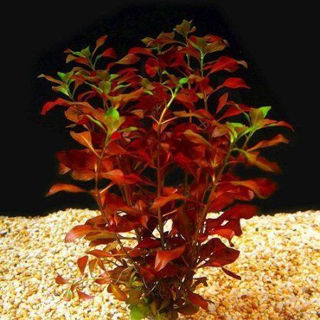 Ludwigia Repens Broadleaf Plant