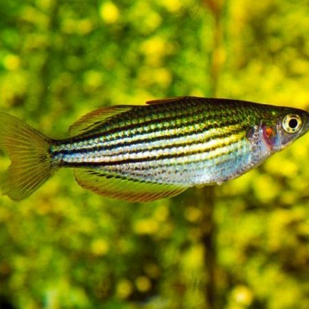 MacCullochi Tropical Dwarf Rainbowfish
