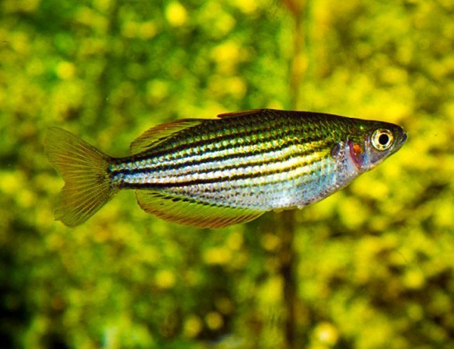 MacCullochi Tropical Dwarf Rainbowfish