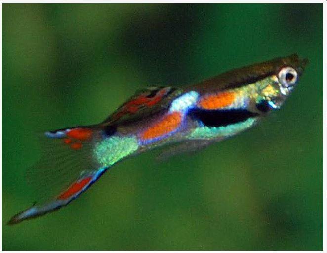 Male Endlers Livebearer Fish