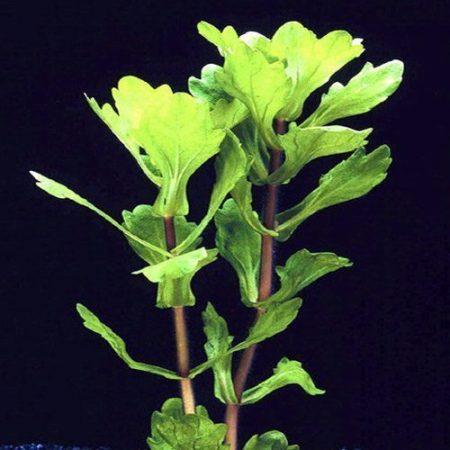 Mexican Oak Leaf Bunched Aquarium Plant