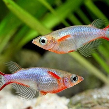 Neon Blue Daisys Rice Killifish