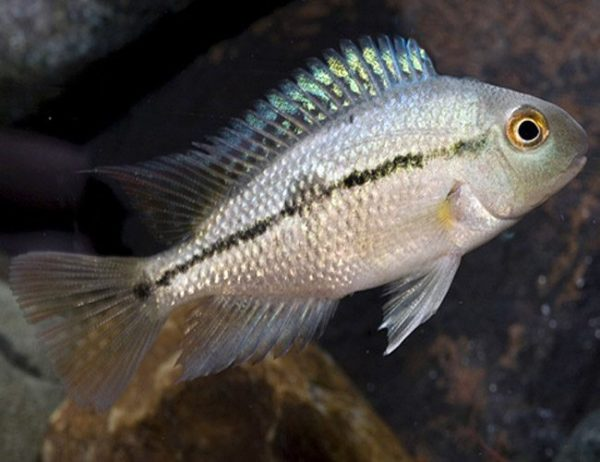 Nicaragua Cichlid Freshwater Aquarium Fish