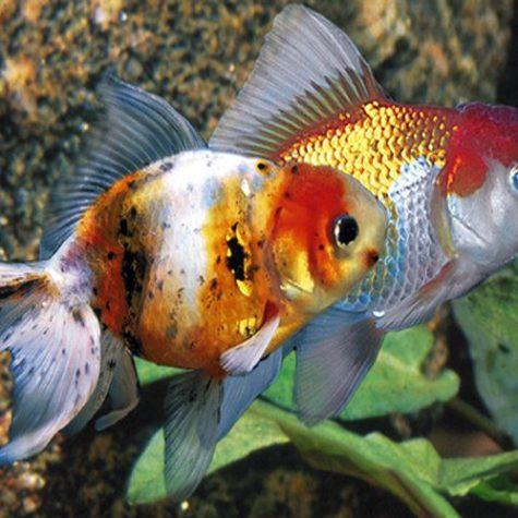 Oranda Goldfish Assorted Colors