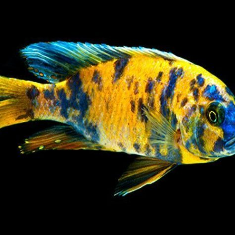 Orange Blotch Peacock Cichlid Large