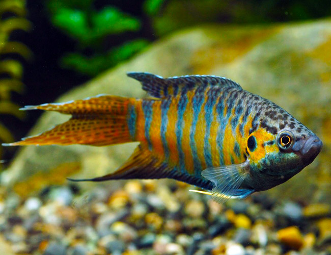 Blue Paradise Gourami Fish For Sale Arizona Aquatic Gardens